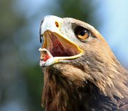 Big Eagle with open beak and eyes wide-open Royalty Free Stock Image