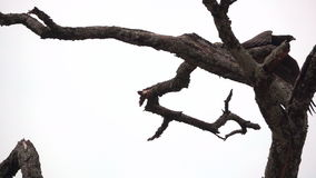 Big eagle over branch starting to fly in slow motion