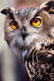 Big eagle owl in closeup Stock Photography