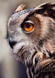 Big eagle owl in closeup Royalty Free Stock Photo