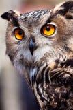 Big Eagle Owl In Closeup Stock Photography