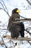 Big eagle with yellow beak  (Haliaeetus pelagicus) Royalty Free Stock Image