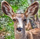 Big Ear Deer in the Sunlight Royalty Free Stock Photo