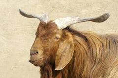 Big-ear sheep Royalty Free Stock Photography