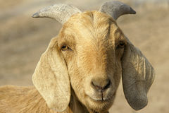 Big-ear sheep Royalty Free Stock Photo