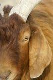 Big-ear sheep Stock Photo