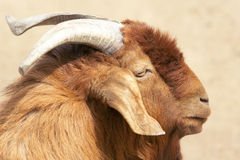 Big ear sheep Royalty Free Stock Photo