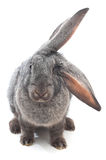 Big-eared. Bunny isolated on white background Stock Image