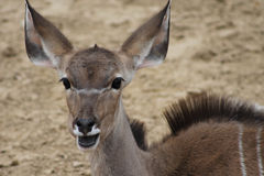 Big Eared Antelope. Brown antelope with big ears and long hair down back Royalty Free Stock Image