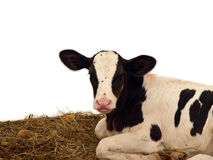 Big Eared Calf Stock Photo