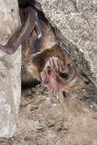 Big-eared free-tailed bat (Otomops martiensseni). Stock Images