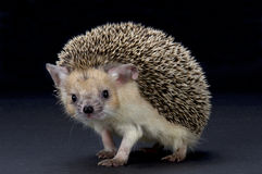 Big-eared hedgehog (Hemiechinus auritus) Stock Photos