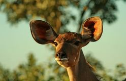 Big ears Royalty Free Stock Photo