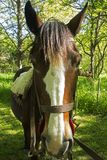 Big ears horse. Beautiful male Argentinian horse nWith a pair of big ears stock image