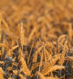 Big ears of wheat in the field in summer Stock Image