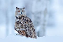 Big Eastern Siberian Eagle Owl, Bubo bubo sibiricus, sitting on hillock with snow in the forest. Birch tree with beautiful animal. Big Eastern Siberian Eagle royalty free stock images