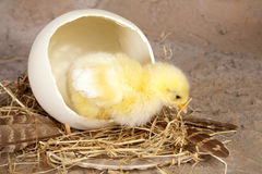 Big egg small chick Stock Photography