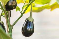 Big eggplant purple eggplant Royalty Free Stock Photography