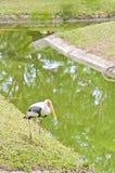 A Big Egret. stock photography