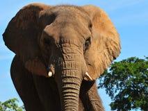 Big Elephant Stock Images