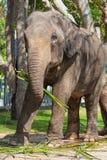 The big elephant Royalty Free Stock Image