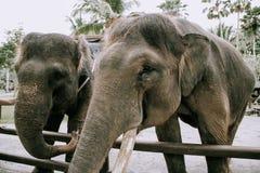 Elephant animal close up in zoo. Big elephant animal close up in zoo Stock Photos