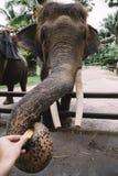 Elephant animal close up in zoo. Big elephant animal close up in zoo Stock Images