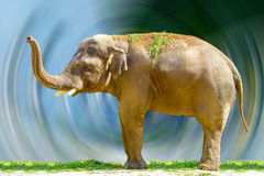 Big elephant animal eating grass at the zoo Stock Photos