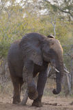 Big elephant approaching along a road tusks trunk Royalty Free Stock Photo