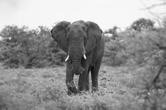 Big elephant approaching along a road tusks trunk Royalty Free Stock Image