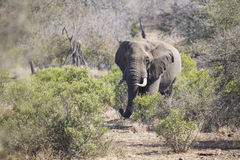 Big elephant approaching a road with tusks Royalty Free Stock Images