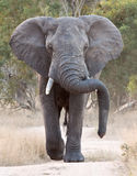 Big elephant approacing along a road. Tusks trunk stock images