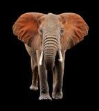 Big elephant on black background Stock Images