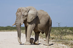 Big elephant bull Stock Image
