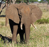 Big elephant bull flapping its ears, East Africa Stock Image