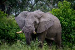 Big Elephant bull starring at the camera. Royalty Free Stock Photo