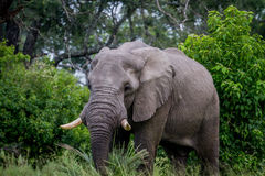 Big Elephant bull starring at the camera. Royalty Free Stock Images