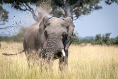 Big Elephant bull taking a dust bath. Stock Photos