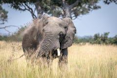 Big Elephant bull taking a dust bath. Stock Images