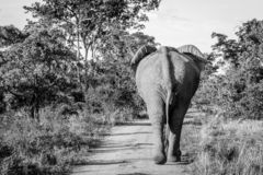 Big Elephant bull walking away from the camera. In black and white in the Welgevonden game reserve, South Africa royalty free stock photos