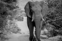 Big Elephant bull walking on the road. In black and white in the Welgevonden game reserve, South Africa royalty free stock image