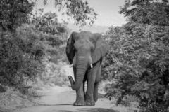 Big Elephant bull walking towards the camera. Elephant bull walking towards the camera in black and white in the Welgevonden game reserve, South Africa royalty free stock photo