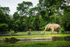 A big elephant in the cage with pool surrounding by fence and trees photo taken in Ragunan zoo Jakarta Indonesia Royalty Free Stock Image