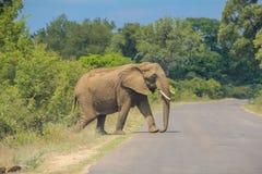 Big elephant royalty free stock photo