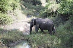 Big elephant crossing the river Stock Photos