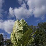 Big Elephant Ears leaves with skies Royalty Free Stock Images