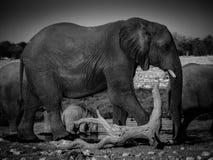 Big. Elephant in Etosha National Park, Namibia Royalty Free Stock Photo