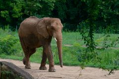 Big elephant in the forest background stock photography
