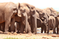 Big Elephant group. Elephant group in Addo National Park in South Africa Stock Image