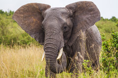 Big elephant. Kenya National Park. Stock Photography